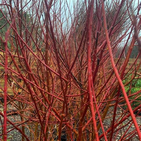 Red Willow - Cuttings - Bowhayes Trees Store